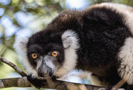 Black-andWhite-lemur