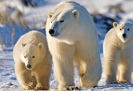 Canada-Chruchill-polar-bear
