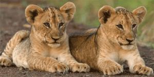 Africa-Lion-cubs