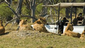 Africa-botswana-Camp-Moremi-lions