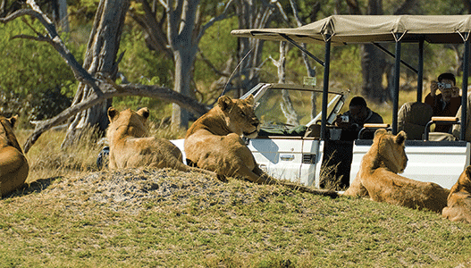 Africa-botswana-Camp-Moremi-lions