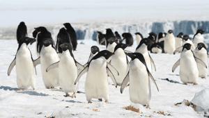 antarctic-penguins-M-Meyer