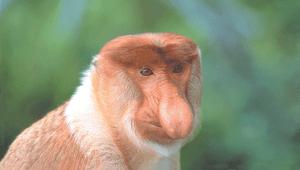 borneo-sabah-Proboscis